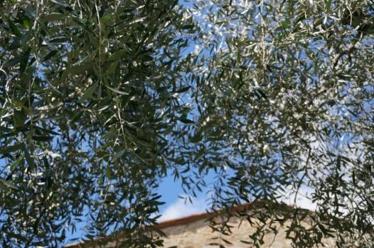 Sole tra gli ulivi